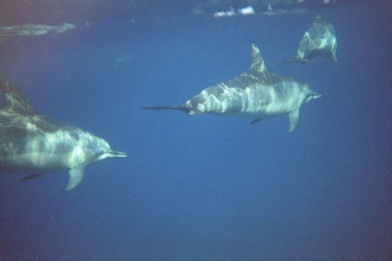 Enjoy swimming with the dolphins in Kealakekua Bay