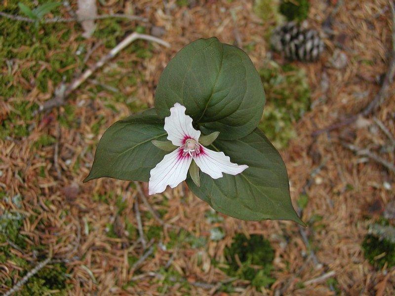 Trillium in adjacent woods.
