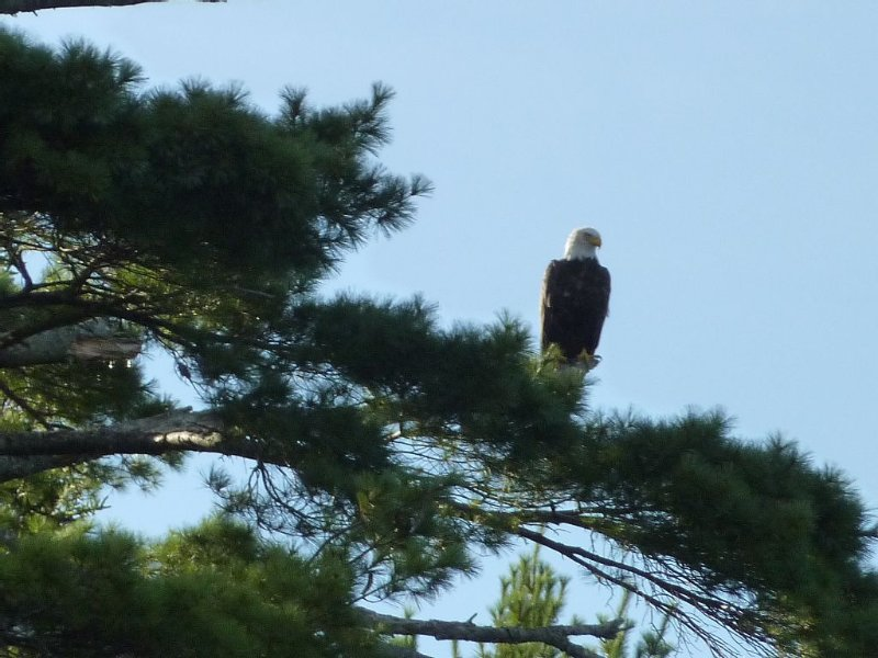 One of the bald eagles living next to the point