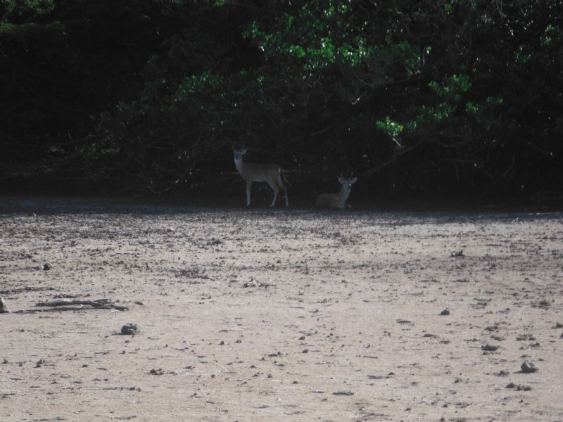 This is our secret spot where we always see deer on St John.