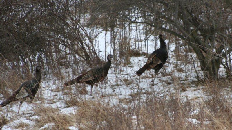 Wild turkeys in the back upper field.  Dec. 2012.  The deer just took off.