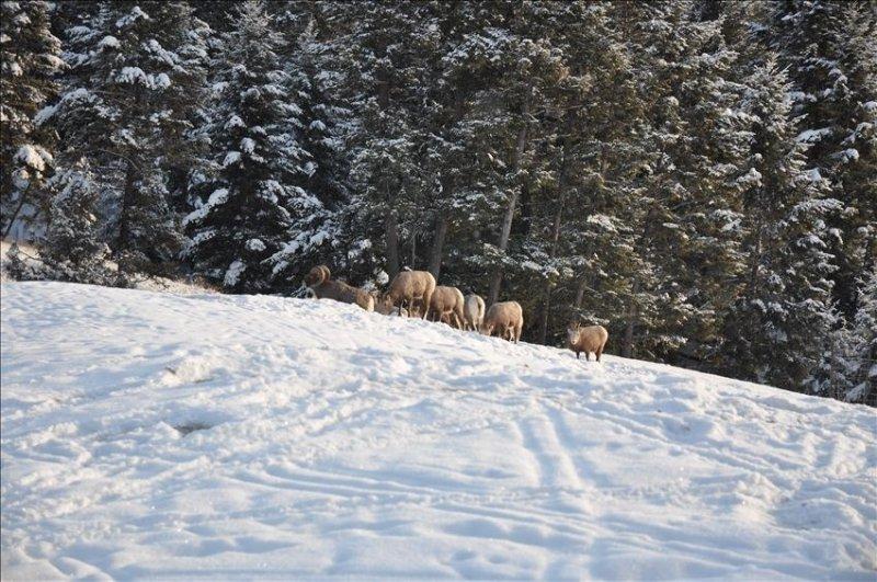 Big Horn Sheep huddled in our back yard