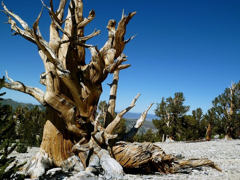 The ancient Bristlecone Pine Forest.