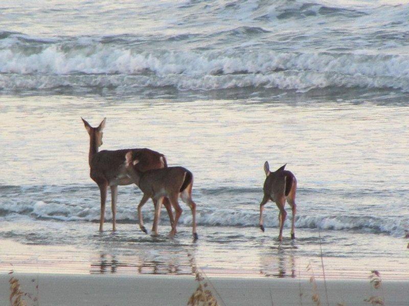 Deer Often Visit the Beach at Dusk.