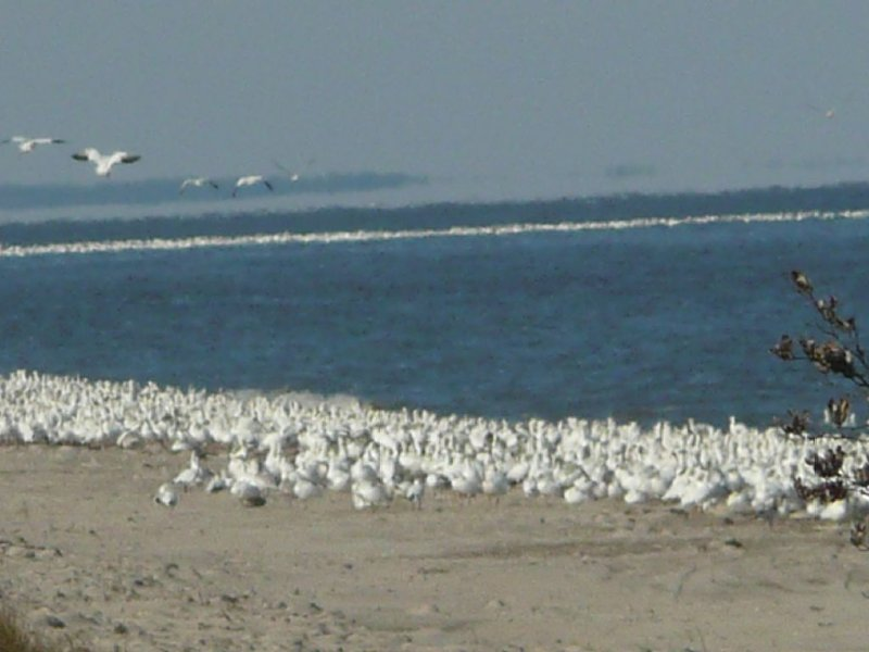 Snow Geese on the bay