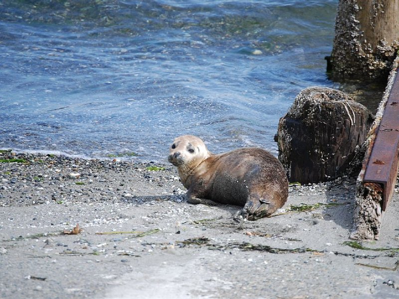 Baby seal sunbathing