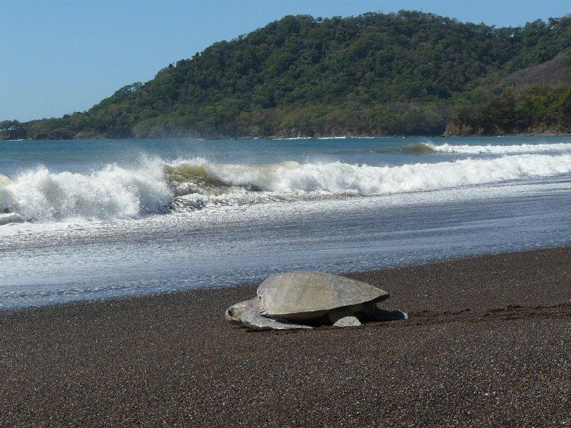 the nesting turtles at Camaronal beach