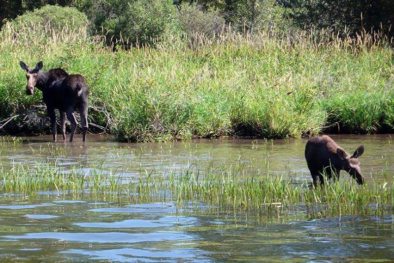 Moose on St Joe River