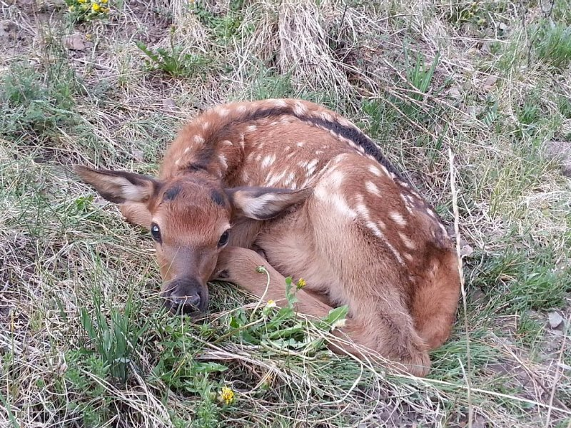 Day old Baby Elk in Upper Valley.   Late evening & early morning time to see.
