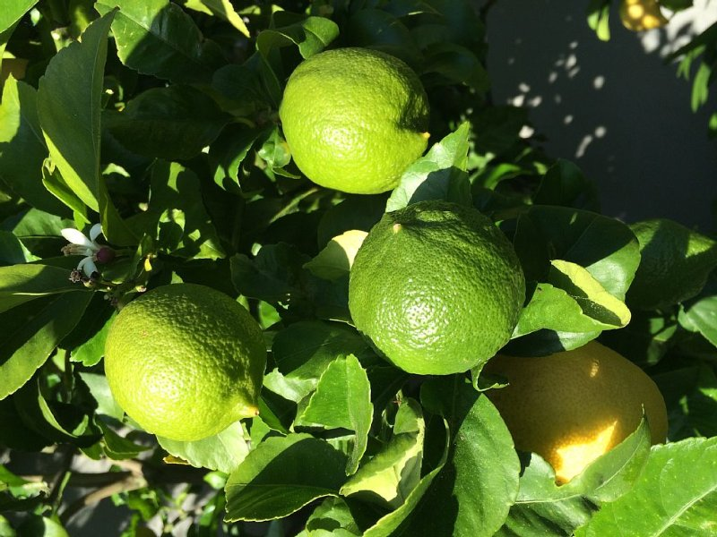 Lemon-Lime tree in the backyard!