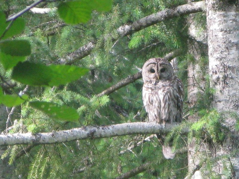 Pic  taken close to the log house.  You can often hear them hooting at night.