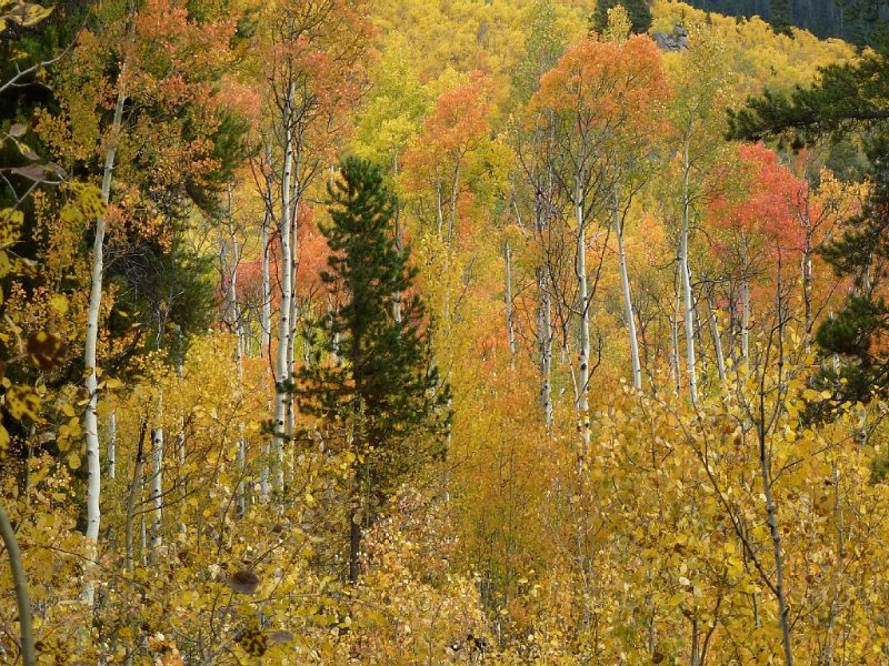 Red aspens in the same area.