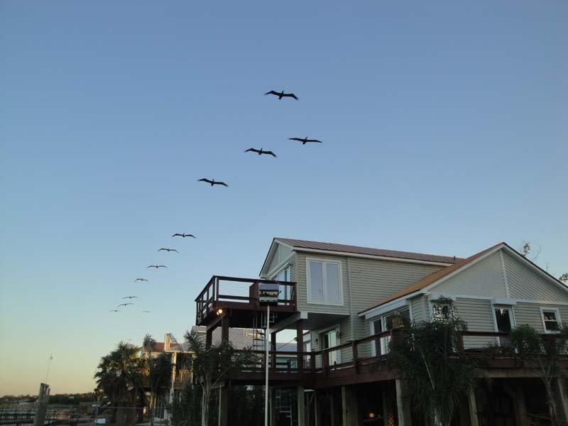 Pelicans flying over