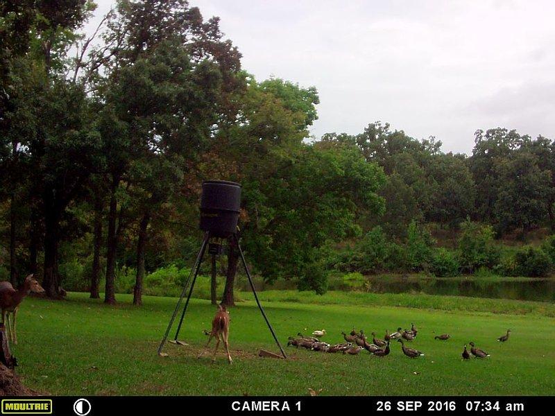 ducks n deer at our feeder