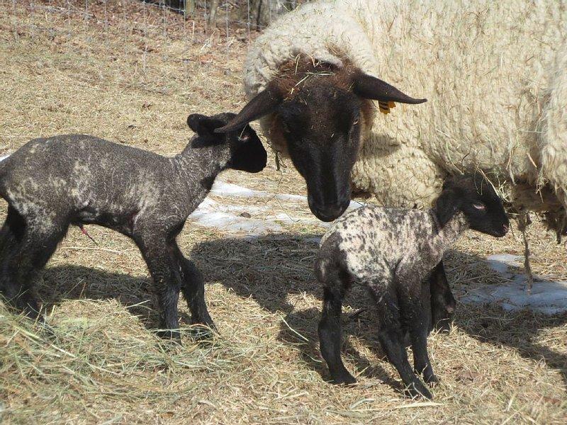 Lambing in February