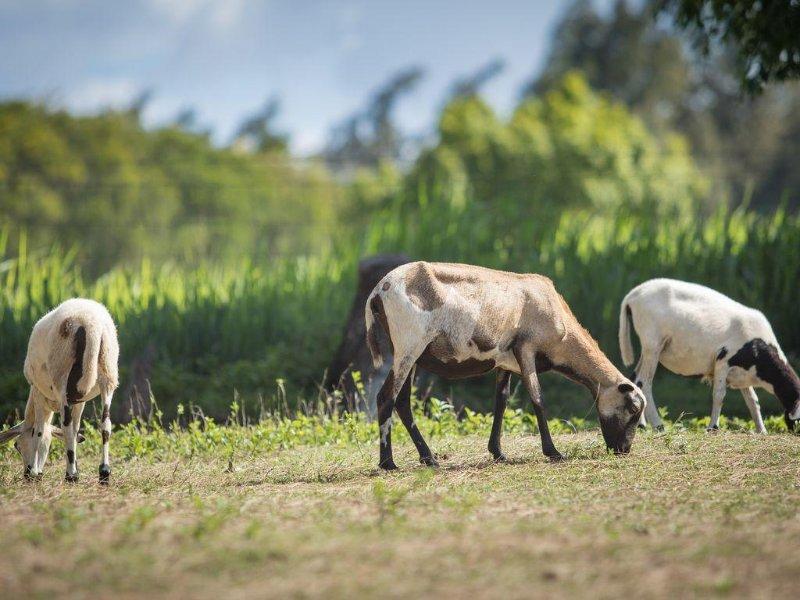 Happy sheep grazing