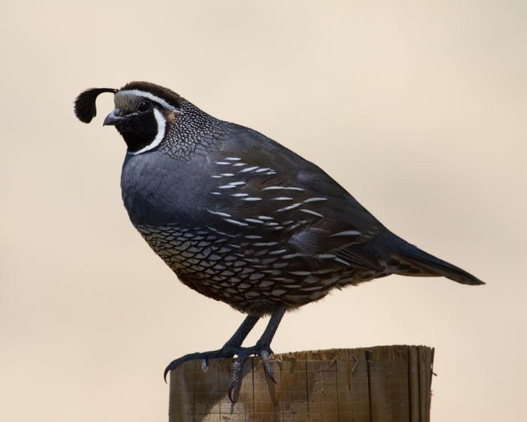 Male Quail and broods around property