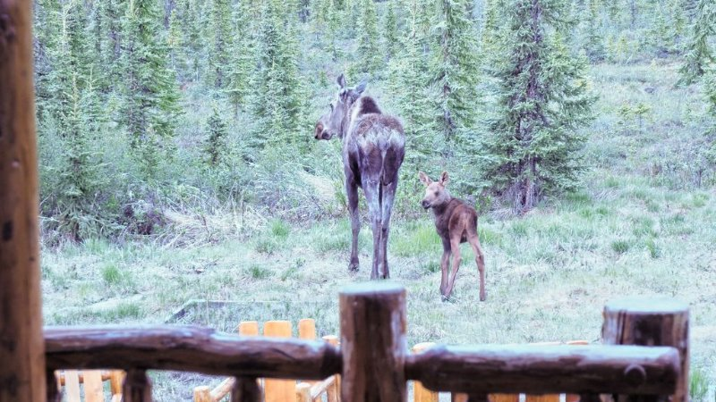 Some morning visitors this summer (2017), cow and new calf moose.