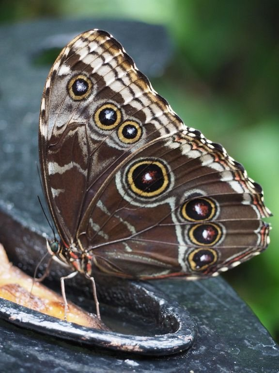 El azul Morph la mariposa