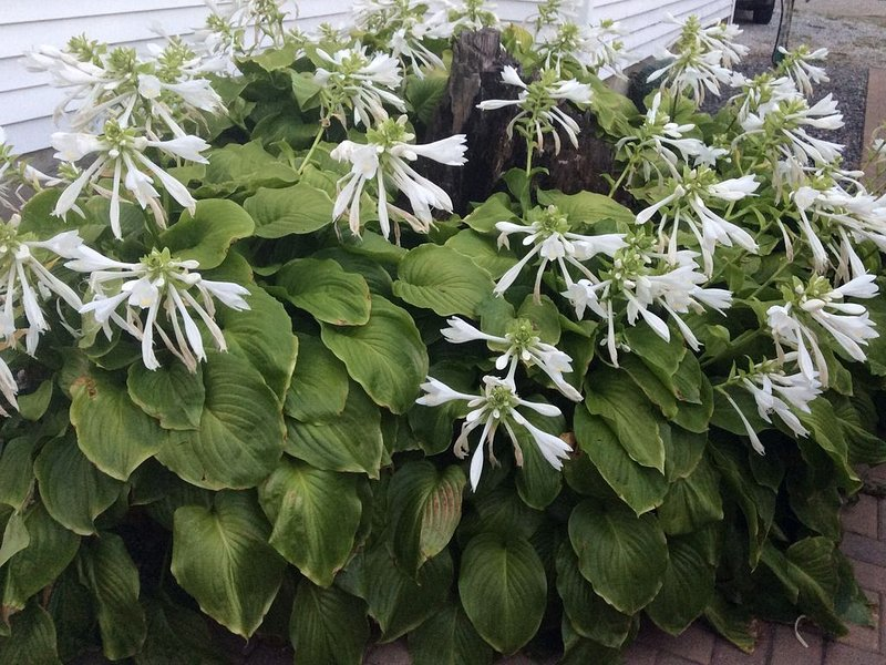 Happy hostas and welcome greenery