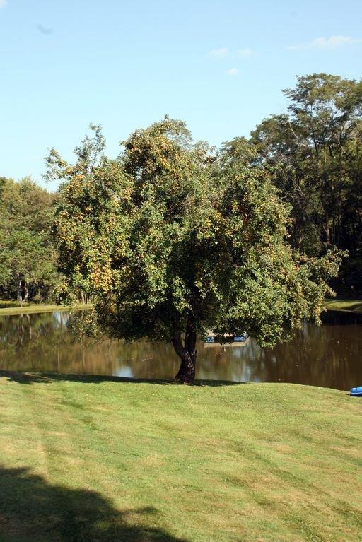 Pommier au bord de l'étang