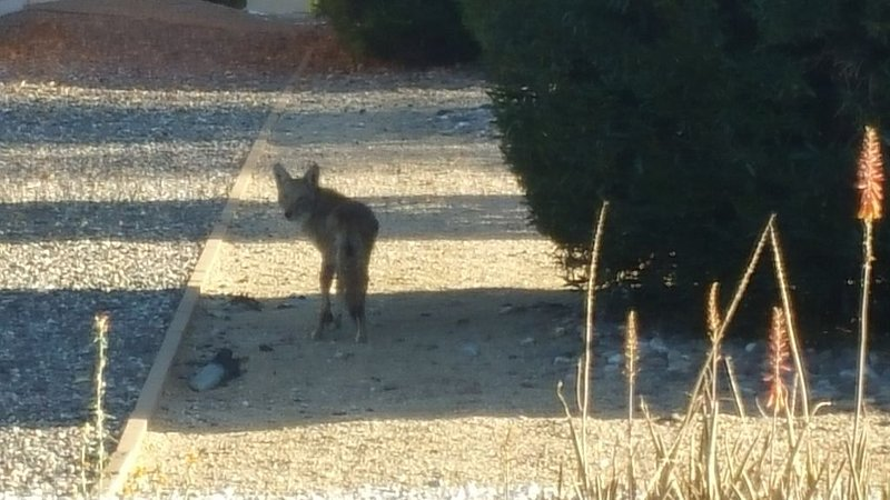 Coyote in the back yard--no small animals left unattended, please!