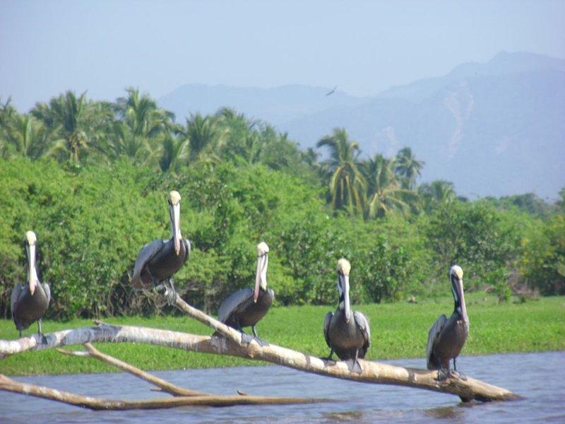 Pelicans at Boca de Lagunillas