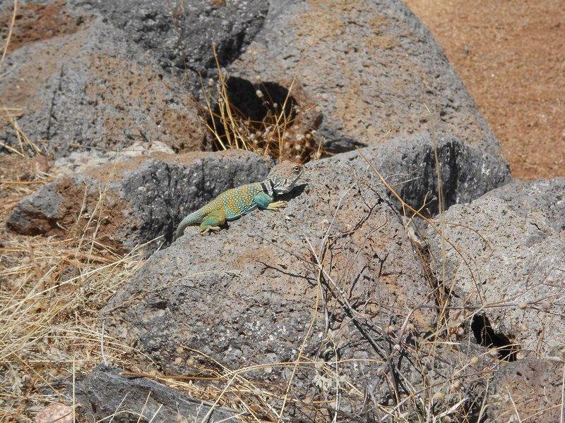 La faune comprend ce petit gars, cerf, javelots, coureurs de route, coyotes et plus
