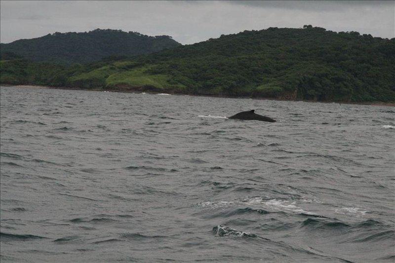 Ballena Jorobada En La Bahía De Salinas. Foto tomada desde la casa.