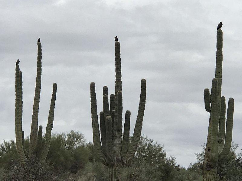 Os falcões dos Harris no Sagrado Sagrado dos nossos desertos