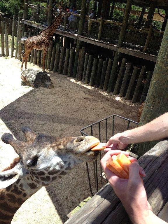 Feeding Giraffes at the Brevard Zoo