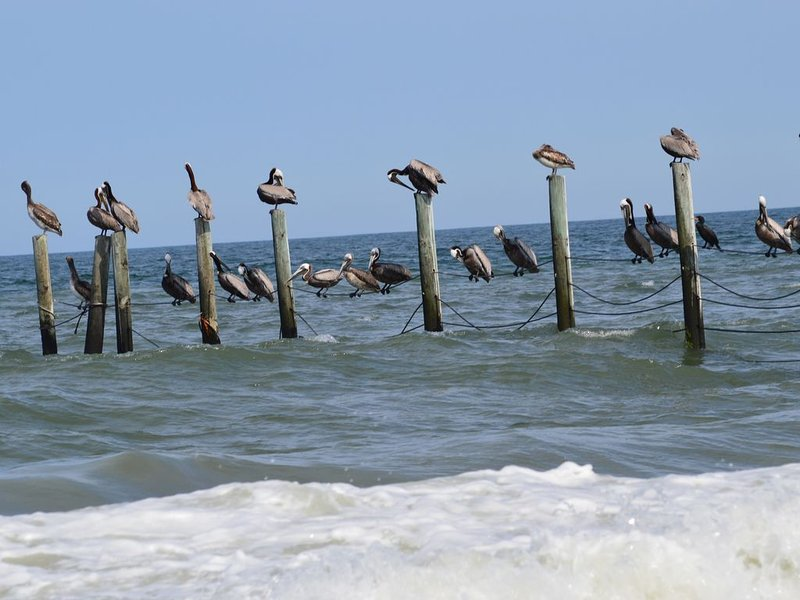 Pelícanos se posan para secarse y se asolean cerca.