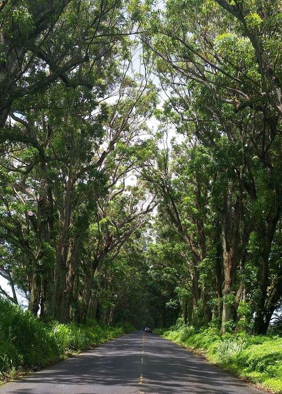 The Tunnel of Trees- Welcome to Koloa & Poipu