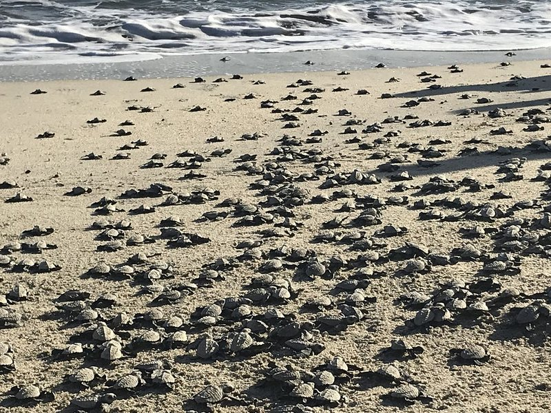 This day, we released over 600 Olive Ridley sea turtle  hatchlings!