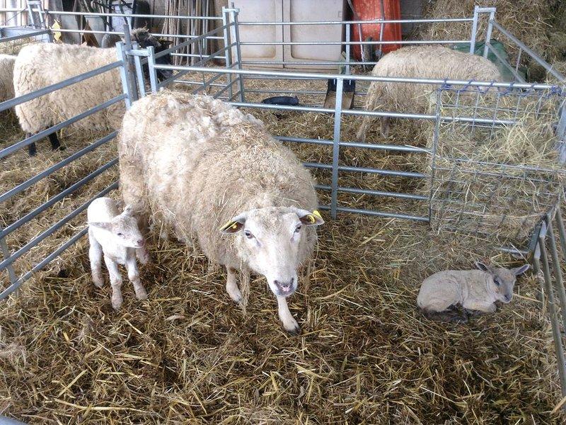 Primeros nuevos corderos nacidos a principios de abril de 2018.