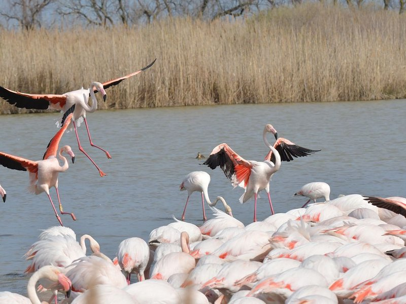 Flamingos in the Camargue.