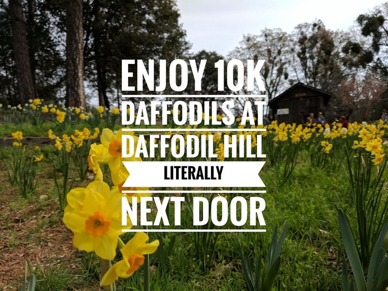 Daffodil Hill is open in April! See thousands of daffodils in bloom!