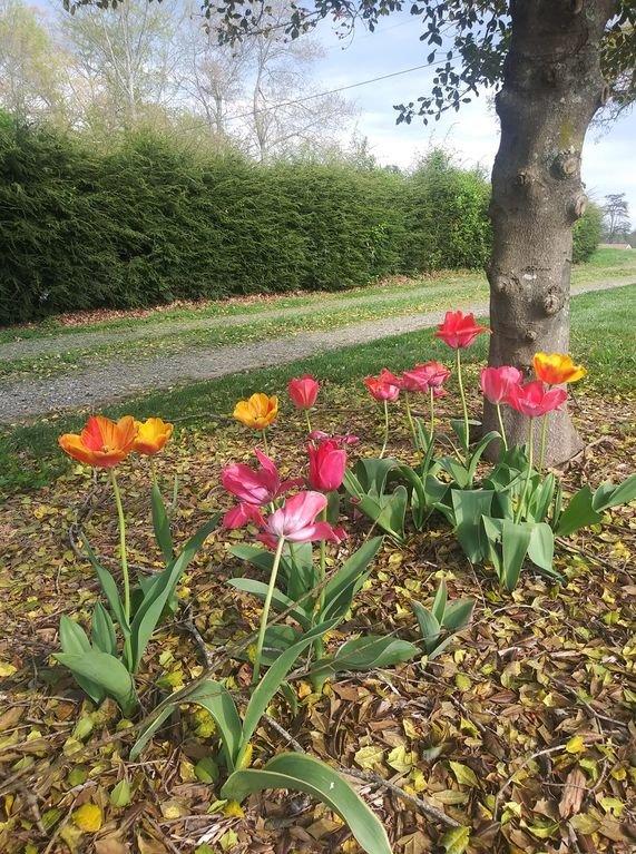 Een gastenfoto van onze lentetulpen die haar verwelkomen in de Cottage