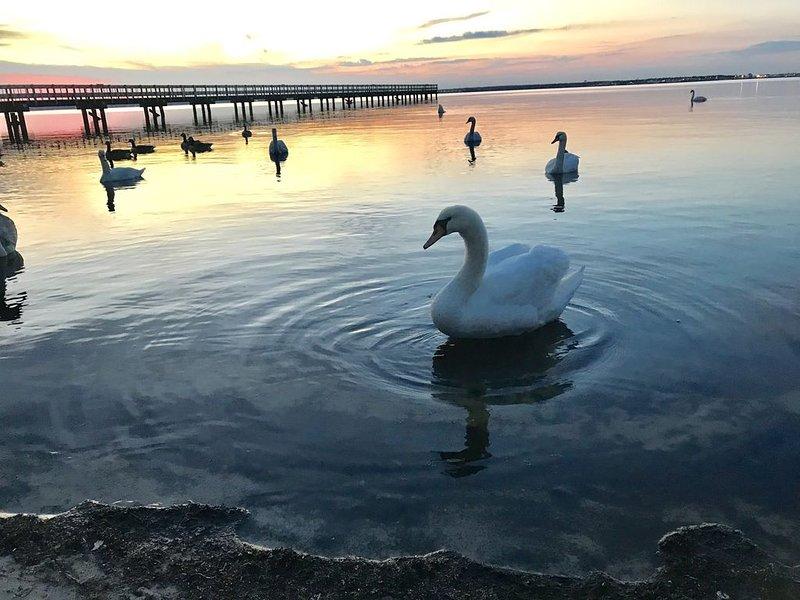 Swans at Bayside
