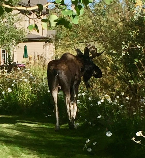 Neighborhood moose seen from the back patio.
