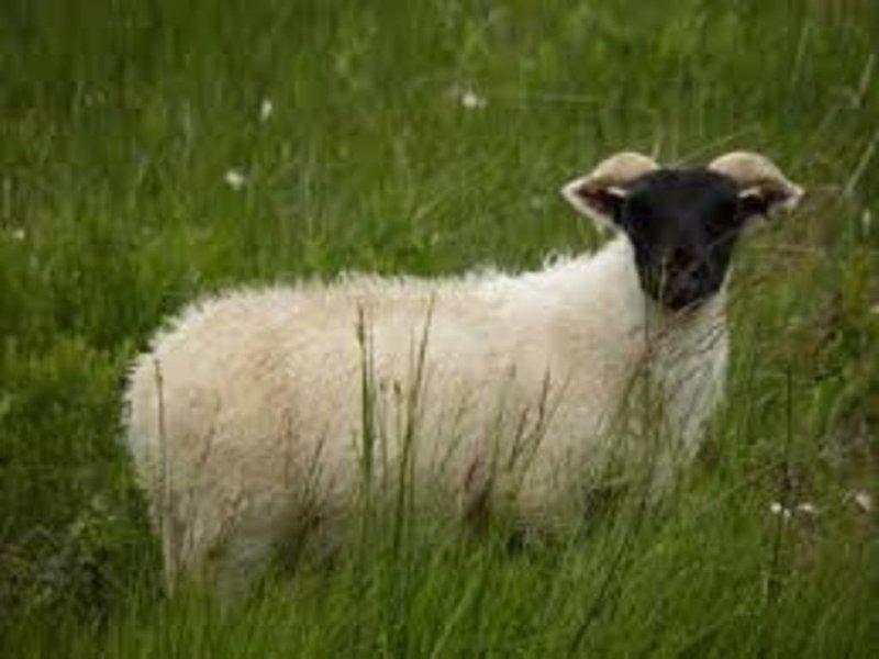 Black faced suffolk