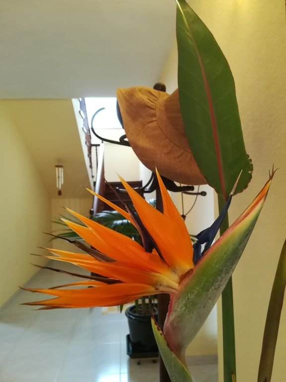 Strelitzia, the tropical flower that gives its name to the house.