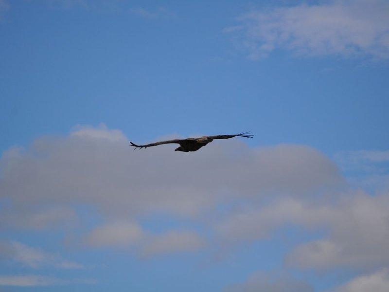 Raptor: vulture vulture