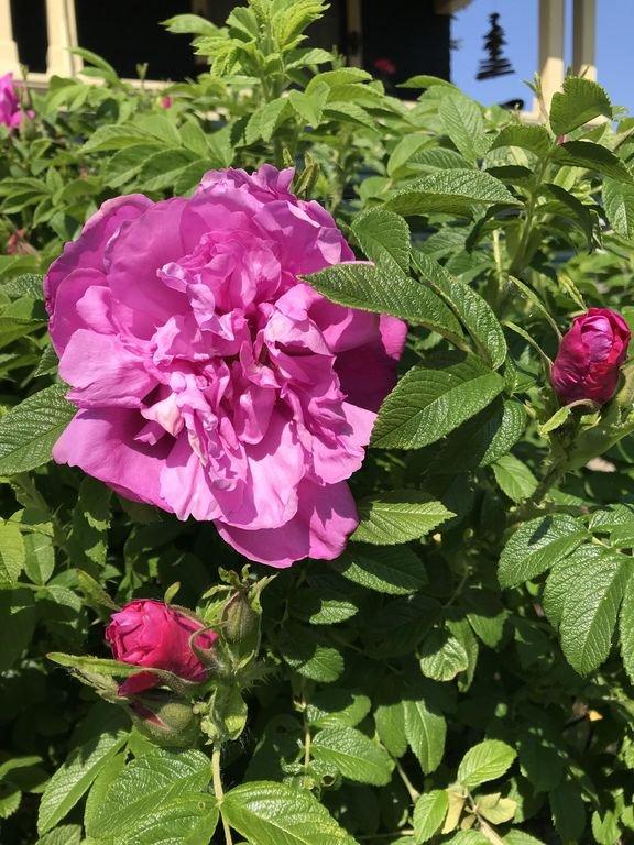 Gästerna hälsas av en väg med doftande rosor från våren till sommaren