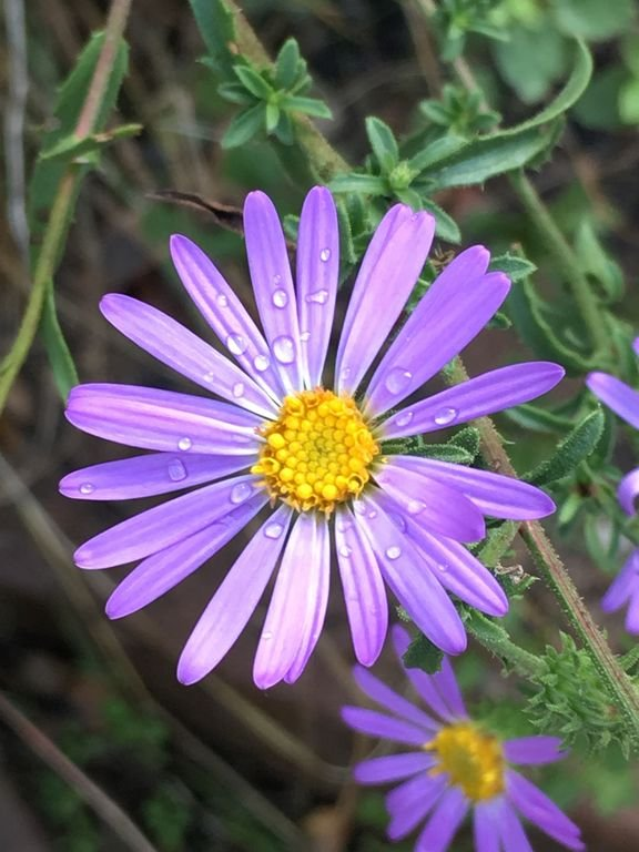 local asters bloom in fall
