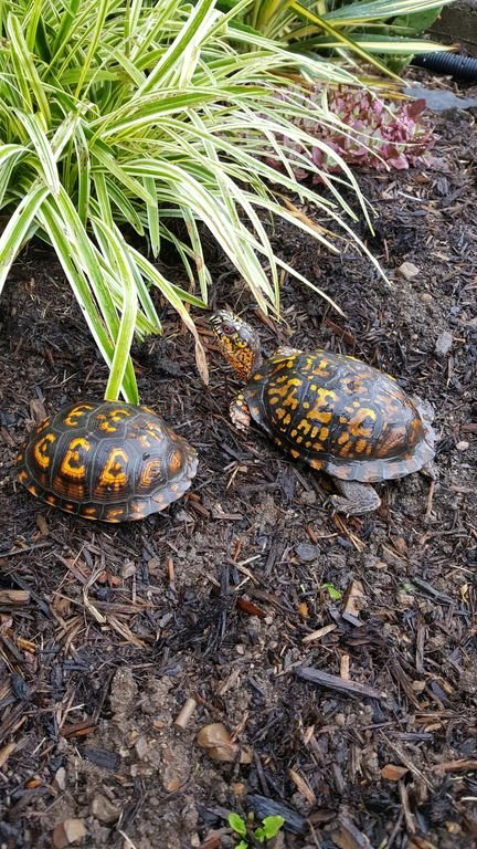 Two box turtles live in our landscape