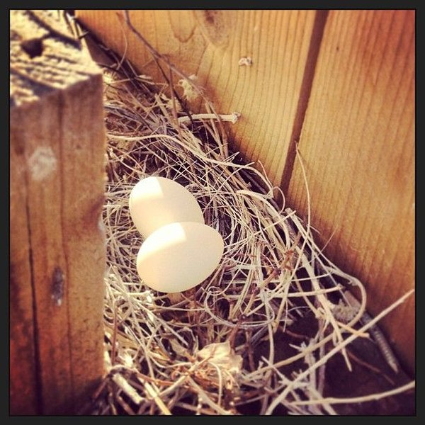 The wild life that shares our home - dove eggs!