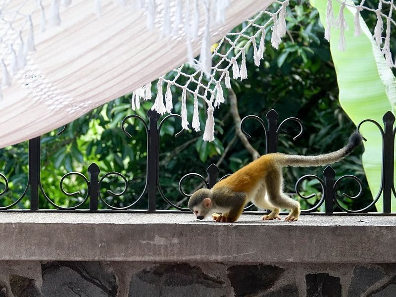 Titi monkey checking out the terrace