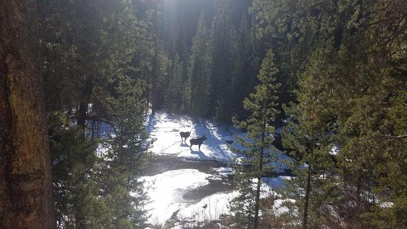 Orignal d'hiver dans le canyon North Cottonwood