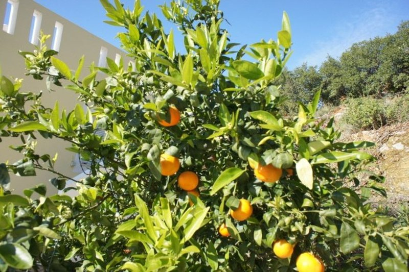 Oranges growing at the back of the house